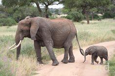 Dumbo where is your ears? Large Animals, Animals And Pets, Baby Animals, Funny Animals, Cute Animals, Animal Babies, Beautiful Creatures, Animals Beautiful, Baby Elefant