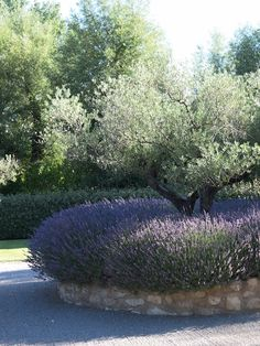 This olive tree underplanted with lavender in a raised bed of stone makes a wonderful feature in this garden in Provence.