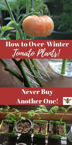 How to Over-Winter Tomato Plants! Did you know that you can easily propagate your best tomato plants, and keep them dormant until next summer? Yep, it's easy! Let's me show you how, step by step! Never buy another tomato plant! Planting Vegetables, Growing Vegetables, Vegetable Gardening, Veggies, Veggie Gardens, Outdoor Plants, Garden Plants, Organic Gardening, Gardening Tips
