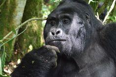 mountain gorilla, mountain gorilla photos, Bwindi Impenetrable National Park, Bwindi Impenetrable National Park wildlife, gorillas in Uganda, Uganda wildlife