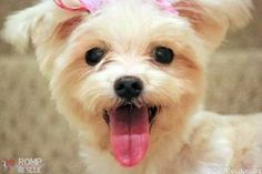 Rihanna is an adoptable Maltese Dog in Chicago, IL.   Rihanna came to us as a backyard breeder surrender. Despite her previous dirty living conditions, she is one happy pup that loves to watch her hum...
