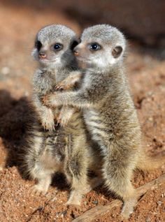(PA) Baby Zoo Animals Around The World:  Cuddling meerkats (These cuties were born in February at Bristol Zoo Gardens.)