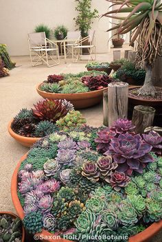 Containers of succulents on Santa Barbara patio  Saxon Holt Photo