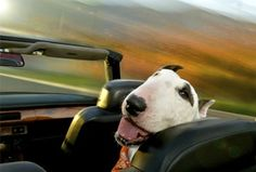 Dogs in Cars official website! DOGS IN CARS (The Countryman Press, 2014) is on sale NOW!