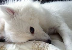 """""""I love his early morning expressions."""" Owner of Floyd the Eskie My Eskie does these faces when she wants to nap. """"Five more minutes, Boss! Miniature American Eskimo, American Eskimo Dog, Samoyed Dogs, Pet Dogs, Doggies, Cute Dogs Breeds, Dog Breeds, Cute Puppies, Dogs And Puppies"""