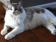 Hopi--Indiana (purebred) is an adoptable Ragdoll Cat in Ennis, TX. Hopi is a drop-dead gorgeous rare Chocolat Lynx Bi-Color Ragdoll, 2 years old. She is Chocolate bi-color with lynx markings female Ra...