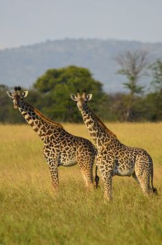 Staring Giraffes @ Serengeti National Park in #Tanzania. For a #Serengeti travel guide visit www.safaribookings.com/serengeti