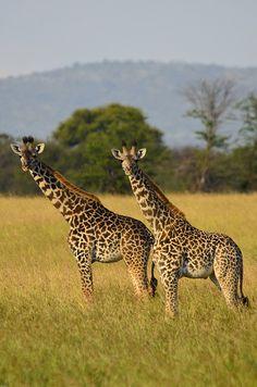 Staring Giraffes @ Serengeti National Park in #Tanzania. For a #Serengeti travel guide visit www.safaribookings.com/serengeti