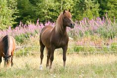 Finnhorse, sometimes called the Finnish Universal, as the Finns consider the breed capable of fulfilling all of Finland's horse needs, including agricultural and forestry work, harness racing, and riding. In 2007, the breed was declared the official national horse breed of Finland.
