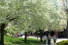 Connecticut State Tree | the Connecticut State University System, Eastern Connecticut State ...