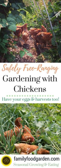 How to Free-Range Your Chickens in the Garden
