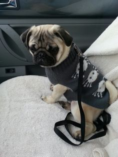 """""""Do you like my spidey sweater?"""" Omg so cutie Silly Dogs, Cute Dogs And Puppies, Little Puppies, Pet Dogs, Black Pug Puppies, Bulldog Puppies, Pets, Cute Little Animals, Cute Funny Animals"""