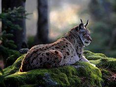 A Canadian Lynx Having a Peaceful Rest.