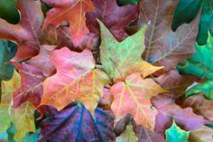 Leaves Photography, Landscape Photography, Fall, Autumn, Maple Leaves, Red, Pink, Green, Mauve, Home Wall Art, Kitchen Wall Art, Office Art