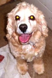 --Max is an adoptable Cocker Spaniel Dog in Spring Lake, NJ. Max is a very handsome purebred Buff colored Cocker Spaniel. He is approximately 8 years old. He is very sweet, calm and loving. He enjoys ...