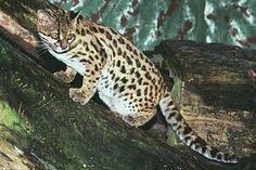 Animais que estão ameaçados de extinção na Amazônia:  Gato-do-mato