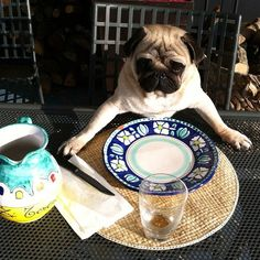 """Pug Enjoys Breakfast Al Fresco  There is nothing Wellesley the Pug, of the Newport Pugs, enjoys more on a crisp December Saturday morning than taking breakfast on the veranda of his wintertime villa in Hilton Head, SC.   """"Wellesley works a very long and difficult week managing his family's kibble factory holdings,"""" said family historian Vivian Swaggleblad. """"Enjoying a quiet weekend breakfast in the cool salt air is one of his few personal concessions. It gives him time t"""