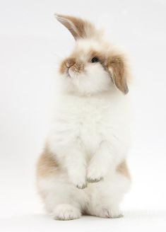fluffy rabbits - Google Search