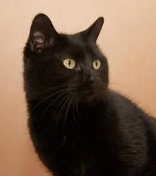 Yoda is an adoptable Domestic Short Hair Cat in Neenah, WI. Hello there! My name is Yoda! I am a 5 year old glorious black cat! I was surrendered to the shelter because my previous owners were moving ...