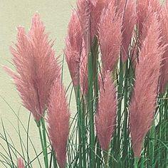 "Cortaderia selloana ""Rosea"", roze pampasgras, siergras, kuipplant."