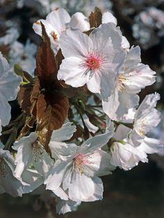 8 Types of Ornamental Cherry Trees --> http://www.hgtvgardens.com/photos/trees-photos/types-of-ornamental-cherry-trees?soc=pinterest