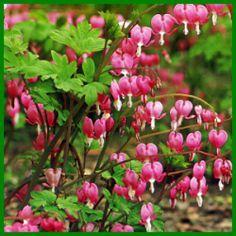 Das Tränende Herz wird 60 bis 90 cm hoch.  Dicentra spectabilis, das Tränende Herz, wird 60 bis 90 cm hoch und hat 2,5 cm große, rosafarbene und weiße Blüten, langlebige Gartenpflanze  http://www.gartenschlumpf.de/das-traenende-herz/