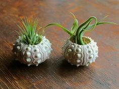 air plants in sea urchin shells