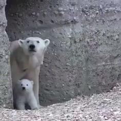 This adorable polar bear cub leaves its house for the first time since being born Polar Bear Video, Polar Bear Paw, Baby Panda Bears, Scary Animals, Cute Baby Animals, Funny Animals, Wild Animals, Baby Otters, Love Bear