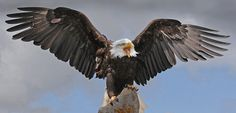 Bald Eagle by Ronald Coulter - Photo 147604355 - 500px
