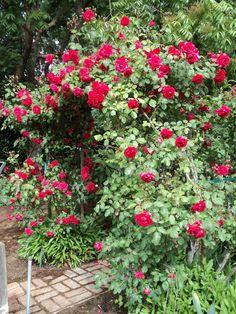 """Blaze"" climbing rose - gorgeous!"