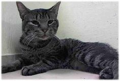 ***GONE BUT NOT FORGOTTEN*** 12/1/14 Brooklyn Center  My name is FOX. My Animal ID # is A1021715. I am a male brn tabby domestic sh. The shelter thinks I am about 1 YEAR  I came in the shelter as a STRAY on 11/26/2014 from NY 11225, owner surrender reason stated was STRAY.