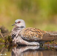 European turtle dove Turtle Dove, Animals, Woodwind Instrument, Animales, Animaux, Animal, Animais