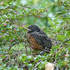 This is a very young robin, perched in a thicket, and looking rather nervous. Perhaps flying lessons were about to resume.