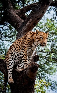 Leopard in a Tree, South Africa | Most Beautiful Pages