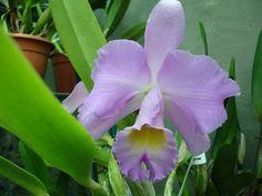 Brassolaeliocattleya PINK DEBUTANTE 'FIRST LOVE'