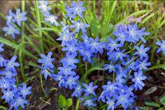 Chionodoxa forbesii, early spring bulb, will easily naturalise, sun of semi-shade, 10-15cm Spring Bulbs, Early Spring, Perennials, Sun, Garden, Beginning Of Spring, Garten, Gardens, Perennial