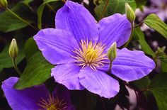 Zara Clematis Raymond Evison Collection Pale blue flowers with a contrasting yellow centre. Flowers early-mid summer & late summer-early autumn. Prefers partial shade. Grows 3-4' at maturity. Canadale Nurseries Ltd.