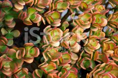 Jade Plant, Crassula Ovata royalty-free stock photo