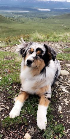 Aussie Dogs, Australian Shepherd Dogs, Minature Australian Shepard, Aussie Shepherd, Mini Aussie, Cute Baby Dogs, Cute Dogs And Puppies, Doggies, Cutest Dogs