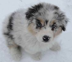 Robin Australian Shepherds ~ Aussie puppies 2010 are Claddagh's puppies are Remi x Ailidh, Robins puppies are Beau x Niomi