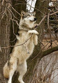 Beautiful wolf! - Easy Branches