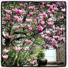 Magnolia ... en fleurs