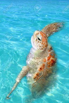 9307621-Superficie-de-agua-de-mar-Caribe-Cheloniidae-de-tortuga-verde-Chelonia-mydas-Foto-de-archivo.jpg (866×1300)