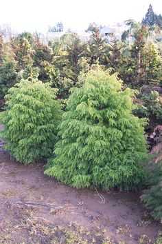 Image result for Cryptomeria Japonica elegans compacta Red Cedar, Japanese, Landscape, Flowers, Gardening, Image, Compact, Plants, Scenery