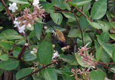 Cool flying critter in the jasmine Jasmine Jasmine, Creatures, Birds, Earth, Plants, Animals, Animales, Animaux, Bird