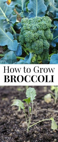 Here are tips for Growing Broccoli in Your Garden including how to grow broccoli from seed