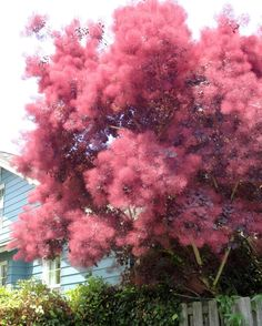 I caught sight of that cotinus, or smoke tree, from my car, about a block away. It was so magical I had to turn around and take a couple of of photos. Have you ever seen such a smokin' smoke tree? - From Danger Garden