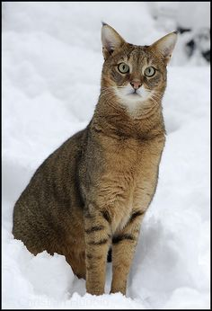 Some sort of wild cat... Elegant.