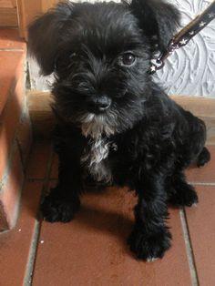 Meet Beau, the 8 week old miniature schnauzer - what a cutie!  Jennet, MV Chichester