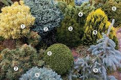 Conifer Garden Ideas Conifers Brighten The Winter Garden Miniatures In The Landscape 1 Conifer Garden Design Ideas Australia Evergreen Garden, Evergreen Shrubs, Trees And Shrubs, Trees To Plant, Garden Shrubs, Flowering Shrubs, Garden Trees, Garden Plants, Outdoor Plants